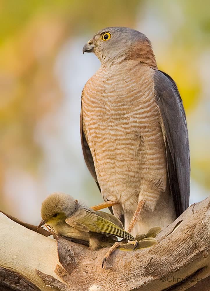 Sparrow Silhouette Flying Goshawk Vs Sparrowhawk