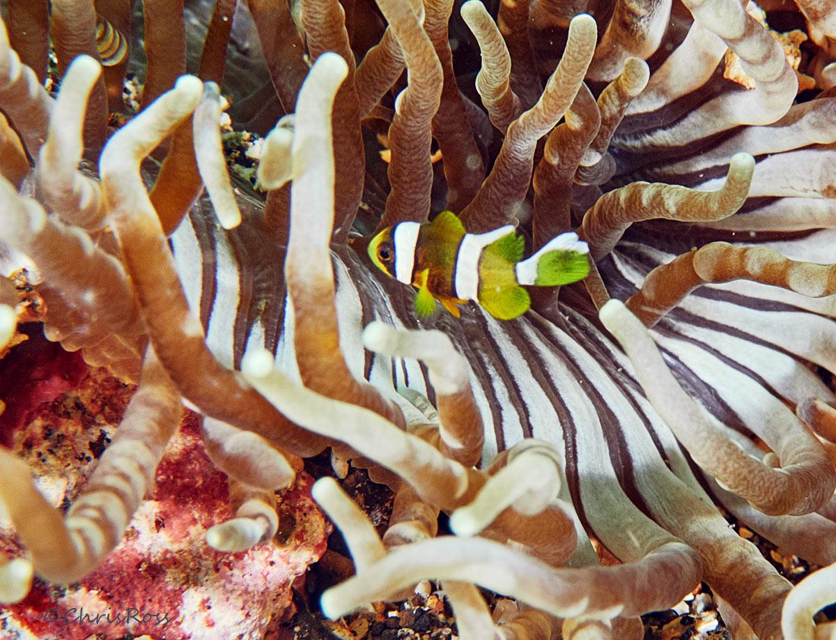 JuvenileClownfish.jpg